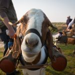 Goat Caddie's a Hit at Silvies Valley Ranch, Program to Expand in 2019